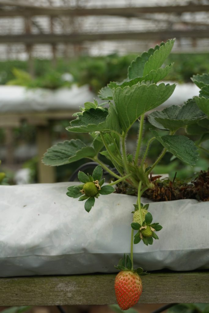 Aardbeienfarm Cameron Highlands