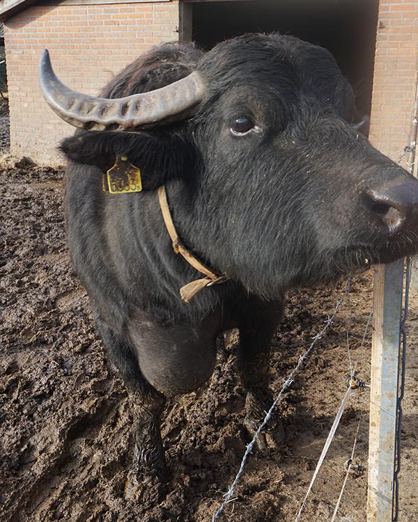 De Stoerderij waterbuffel dame